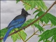 Stellar Jay<br>Oil on Canvas, Paintings