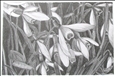 Snowdrops<br>Graphite on Paper, Drawings