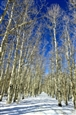 Aspens in Winter Gallery<br>Photographic Print on Metallic Paper & Duraplaq, Photography
