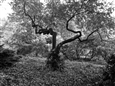 Central Park Tree<br>Platinum/Palladium Photograph, Photography