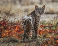 The Bobcat<br>Photograph on Fine Art Paper, Photography